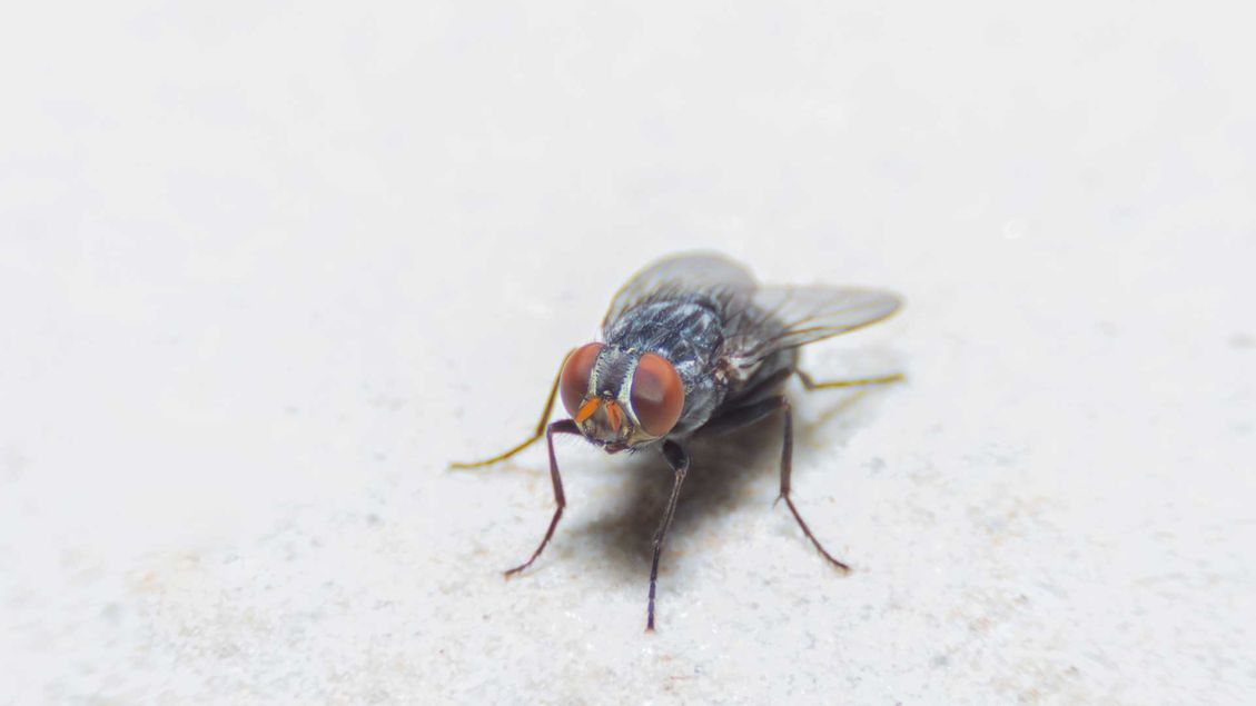 A fly that has infested a house